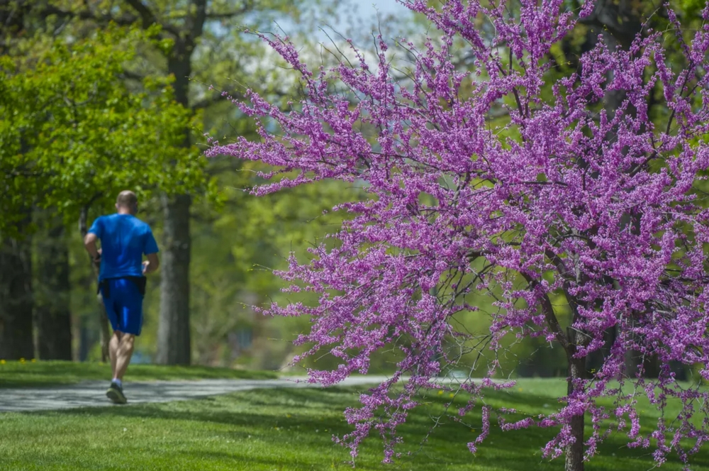 jogger running cherry trees